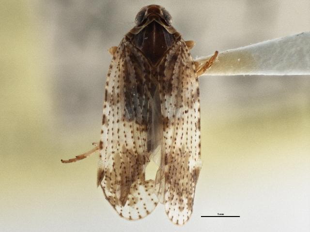 Image of <i>Cixius pini</i> Fitch 1851