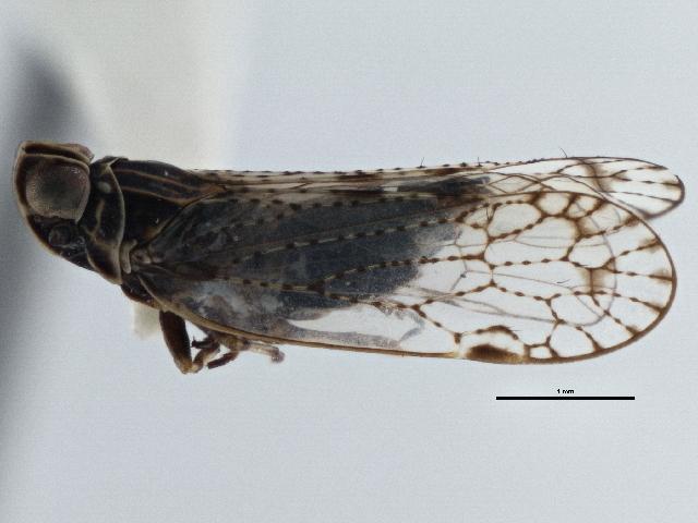 Image of <i>Oecleus venosus</i> Van Duzee 1912