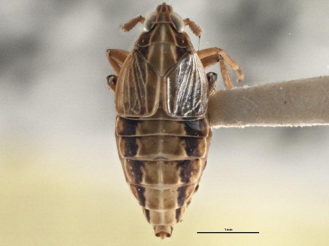 Image of <i>Megamelus flavus</i> Crawford 1914