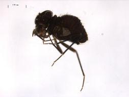 Image of <i>Bertkauia crosbyana</i> Chapman & P. J. 1930