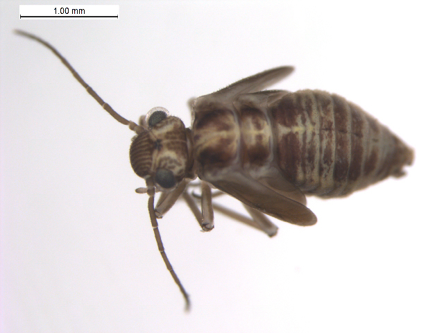 Image of <i>Amphigerontia bifasciata</i> (Latreille 1799)