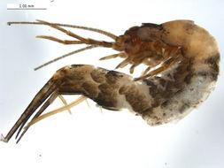 Image of Pedetontus