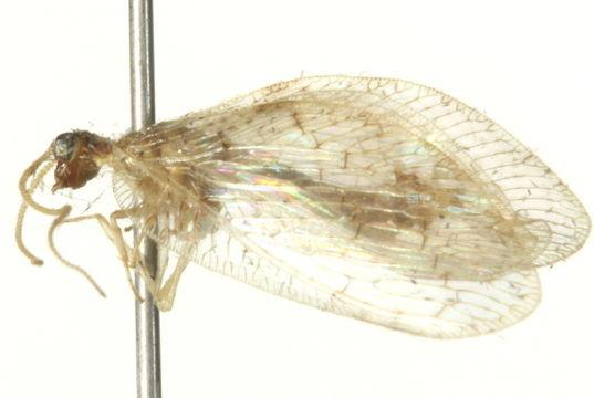 Image of <i>Hemerobius marginatus</i> Stephens 1836