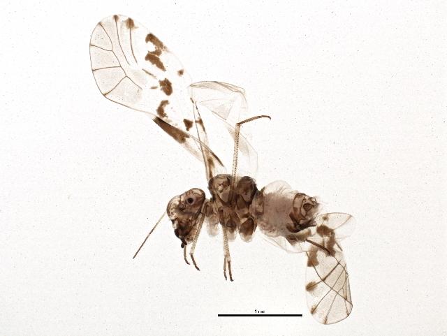 Image of mouse-like barklice