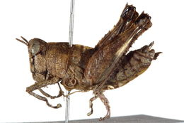 Image of Thericleidae