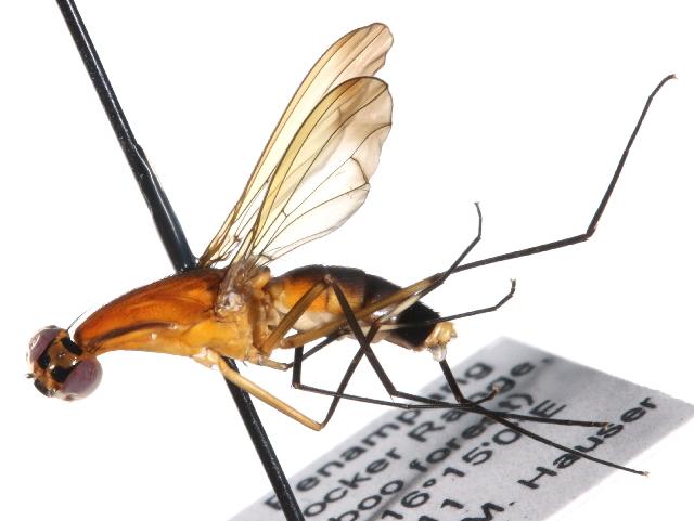 Image of Nothybidae