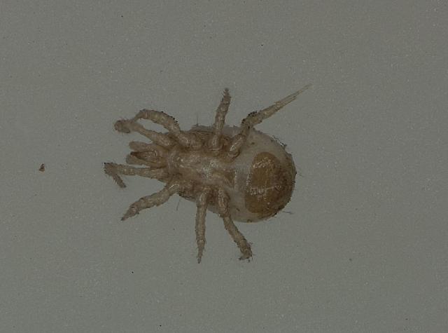 Image of Lasioseius Berlese
