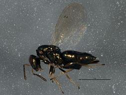 Image of <i>Mesopolobus incultus</i> (Walker 1834)