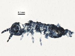 Image of <i>Xenylla brevisimilis</i> Stach 1949