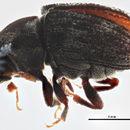 Image of Hylesinus