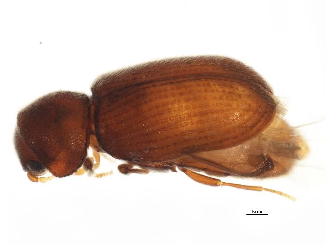 Image of drugstore beetle
