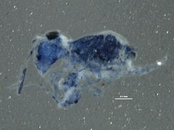 Image of Bourletiellidae
