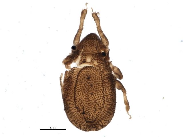 Image of Scapheremaeus