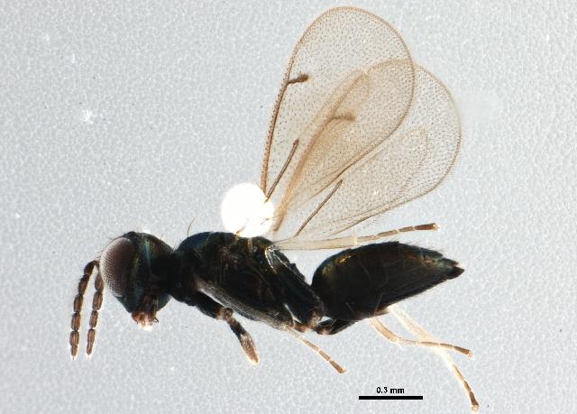 Image of Chrysocharis
