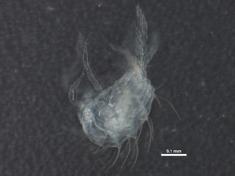 Image of <i>Panonychus ulmi</i> (Koch 1836)