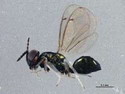 Image of <i>Chrysocharis liriomyzae</i> Delucchi 1954