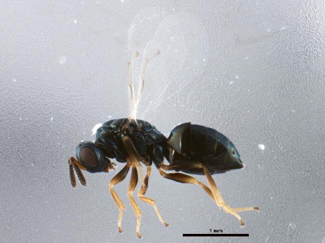 Image of <i>Nasonia vitripennis</i> (Walker 1836)