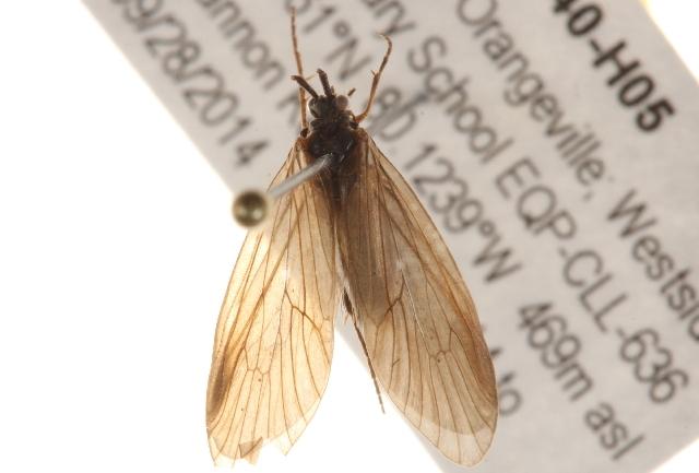 Image of Lepidostomatinae