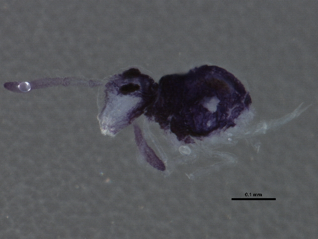Image of <i>Sminthurinus bimaculatus</i> Axelson 1902