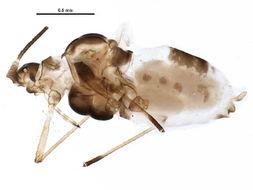 Image of <i>Capitophorus hippophaes</i> (Walker & F. 1852)