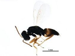 Image of <i>Mesopolobus tortricis</i> (Brues 1910)