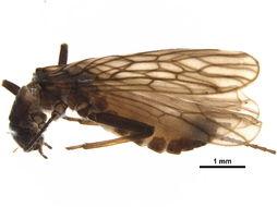 Image of Allocapnia