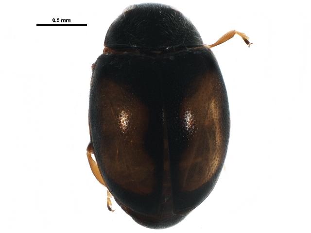 Image of <i><i>Nephus</i></i> (Nephus) <i>ornatus</i> (Le Conte 1850)