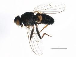 Image of Lispocephala