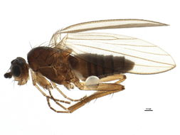 Image of spear-winged flies