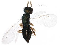 Image of <i>Mesopolobus verditer</i> (Norton 1869)