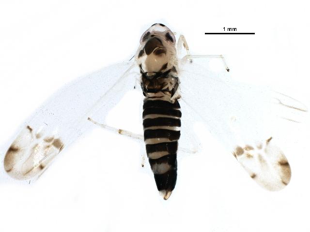 Image of Leafhopper
