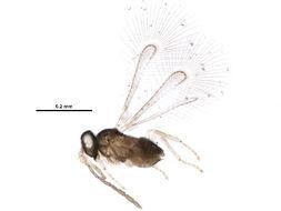 Image of Alaptus