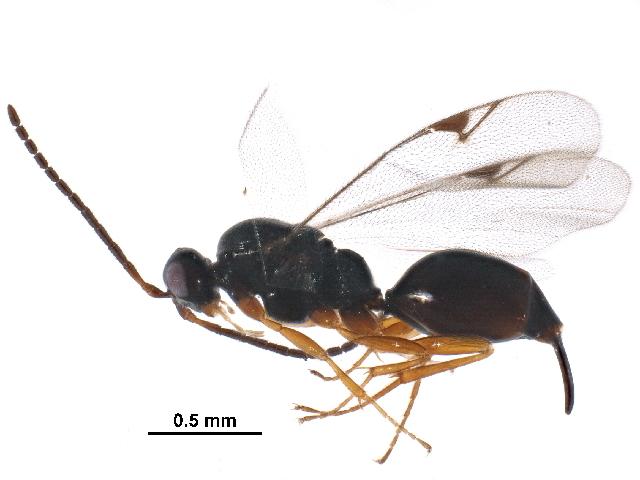 Image of Cryptoserphus