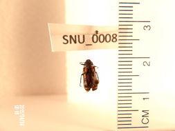 Image of soft-winged flower beetles