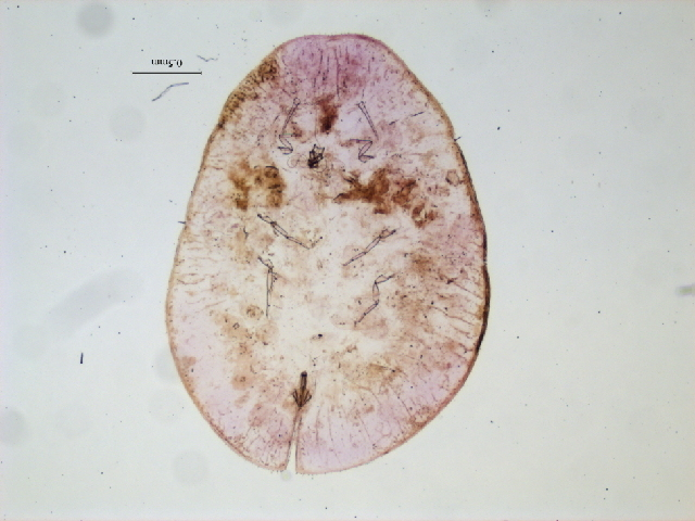 Image of Coccus
