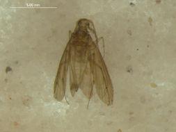 Image of Ecnomidae