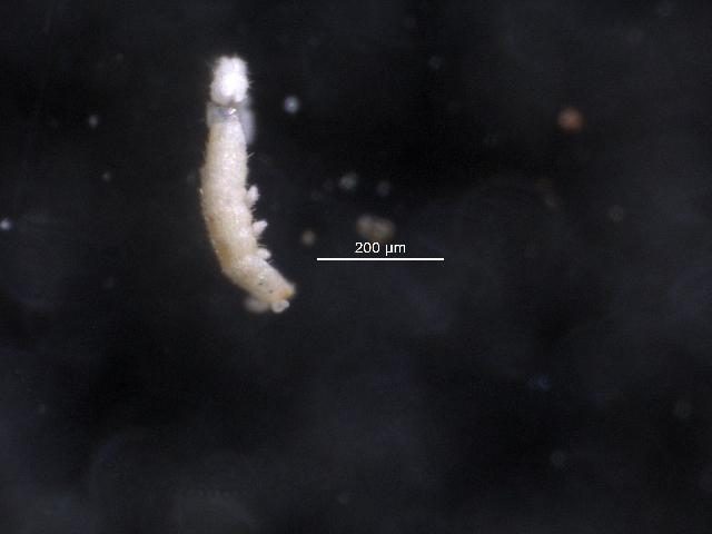 Image of Tullbergiidae
