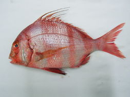 Image of Redbanded seabream