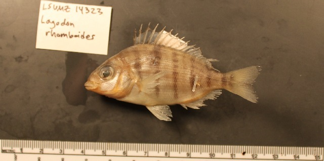 Image of Bream