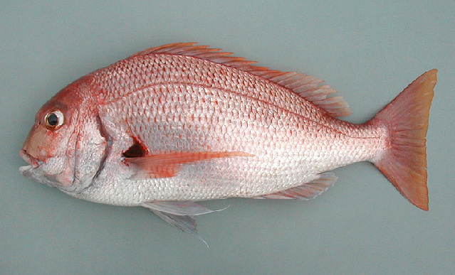 Image of African red bream