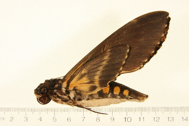 Image of <i>Neococytius cluentius</i> (Cramer 1775)