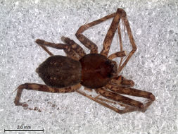 Image of longlegged water spiders