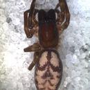 Image of Amaurobioides