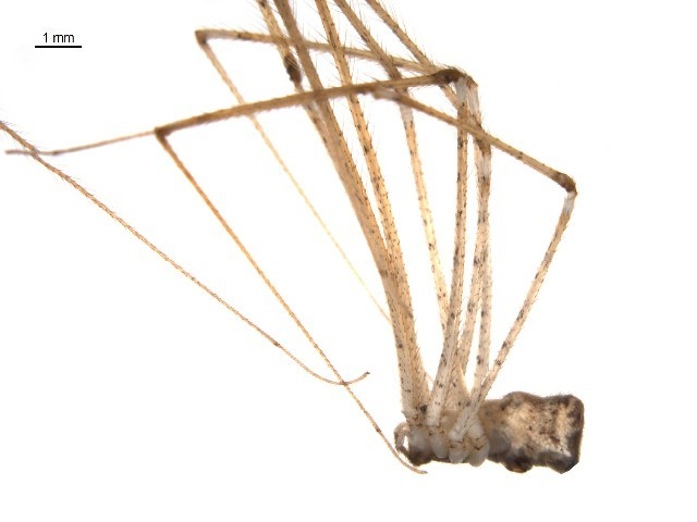 Image of <i>Crossopriza maculipes</i> (Spassky 1934)