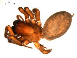 Image of Inermocoelotes