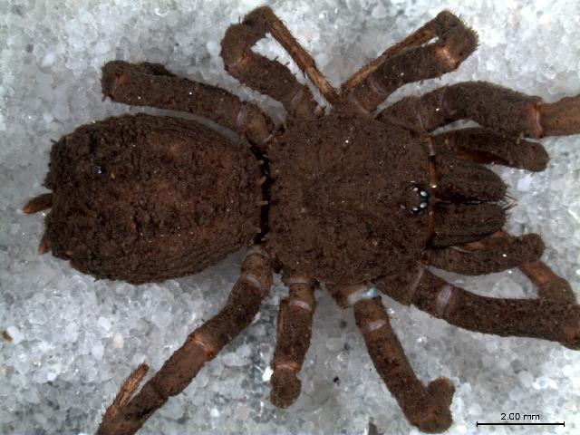 Image of Paratropis