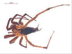 Image of <i>Agelenopsis actuosa</i> (Gertsch & Ivie 1936)
