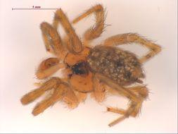 Image of <i>Oecobius annulipes</i> Lucas 1846