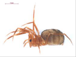 Image of <i>Cybaeota nana</i> Chamberlin & Ivie 1937