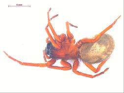 Image of <i>Callobius severus</i> (Simon 1884)